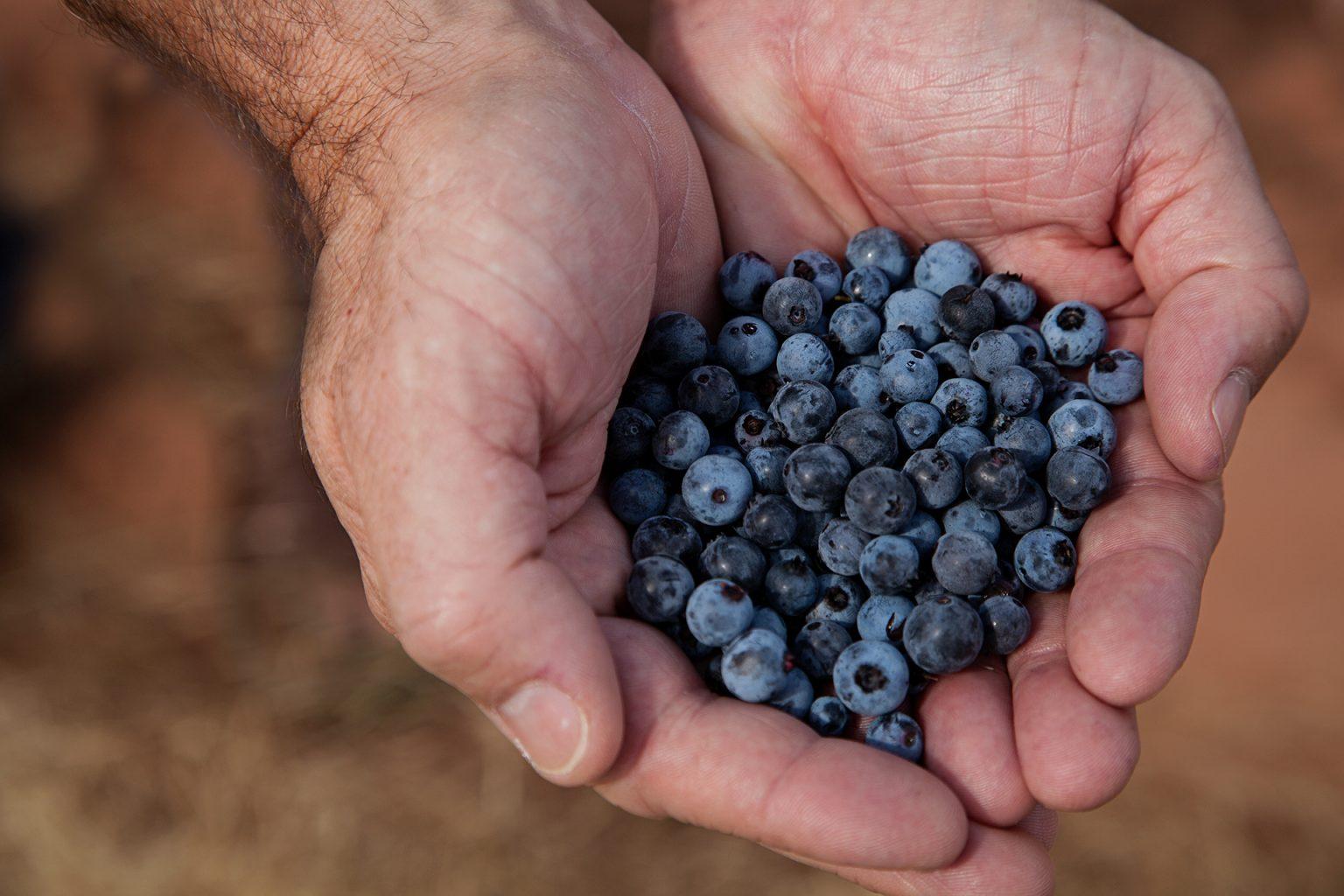 wild blueberries in hands